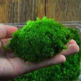 Diy mirco paisagem musgo planta decorações de garrafa selvagem natural Leucobryum bowringii vidro