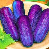 Egrow 100Pcs / Pack Purple Cucumber Seeds Garden Farm Piante orticole Semi