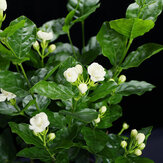 Egrow 100 Pcs / Pack Arabian Jasmine Bonsai Seeds Flower for Home Garden plant