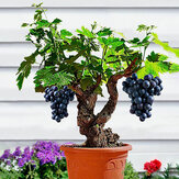 Egrow 50Pcs/Pack Grape Vine Seeds Organic Outdoor Sweet Fruit Seed Succulent Plants Indoor Bonsai