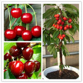 Egrow 20 sztuk / worek Cherry Nasiona Home Indoor Fruit Bonsai Dwarf Cherry Tree Seed Planting