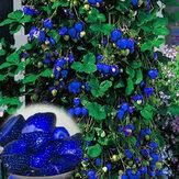 500шт Семена голубой клубники редкие фрукты овощи бонсай Вьющееся растение съедобный садовый подъемный завод