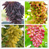 Egrow 50 Pcs/Pack Finger Grape Seed Delicious Potted Fruit Grapes Plant Seeds For Home And Garden