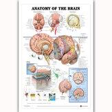Анатомия человека в плазме мозга Анатомическая диаграмма Человеческое тело Медицинская Образование