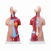 55cm Human Anatomy Unisex Torso Assembly Visceral Anatomical Model