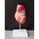 Life Size Human Heart Model Anatomical Cardiac Model Learning Lab Supplies Medical Model