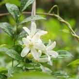 Egrow 20 pezzi Bonsai Jasmine Fiori Semi Giardino Outdoor Balcone Arrampicata Semi di Fiori