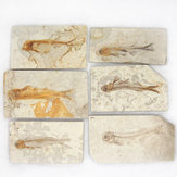 Lycoptera Davidi placa espécime Jurássico para Cretáceo Real Peixe Fóssil China Decorações