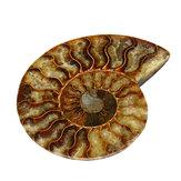Decorações de espécime de cristal de grande concha natural de mar fóssil de amonita de 13cm