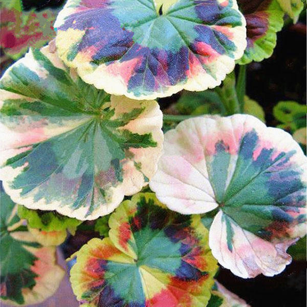 Egrow 100pcs Pack Colorful Janpanse Coleus Seeds Garden Foliage