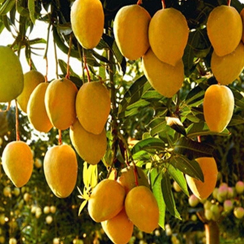 Egrow 1pc Edible Mango Fruit Seeds Garden Courtyard Outdoor Plants Mango Tree Seed
