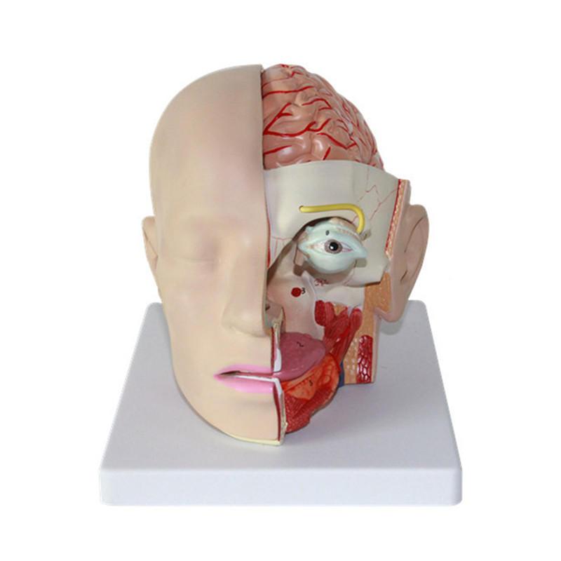 Human Anatomical Anatomy Head Skull Brain Medical Comprehensive teaching Model