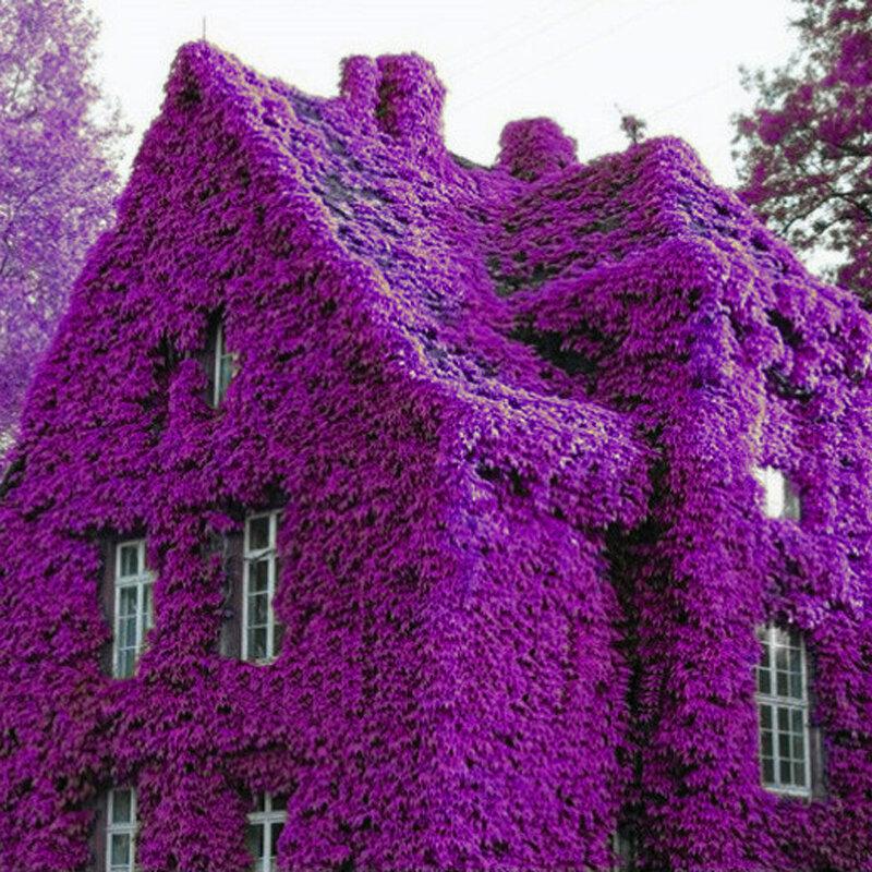 100 पीसी इत्र इंद्रधनुष चढ़ाई संयंत्र Coulourful रॉक क्रेस फूल बीज