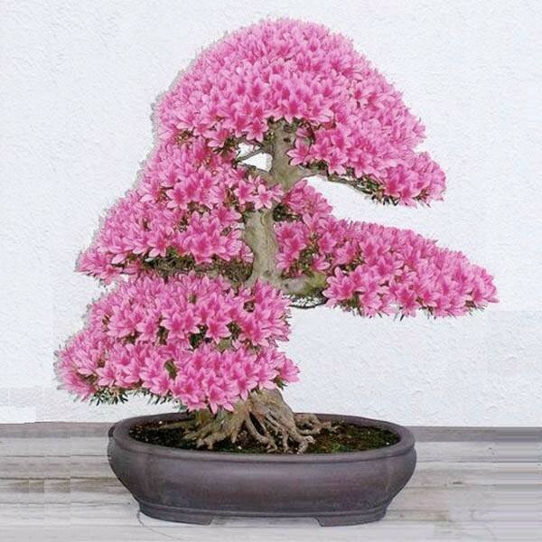 Egrow 10 Rare Sakura Seeds Cherry Blossoms Seeds Vườn hoa Cây bonsai