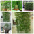 Egrow 60Pcs/Pack Chinese Mini Moso Bamboo Seeds Phyllostachys Heterocycla Courtyard Moso Bamboo for DIY Home Garden Plant