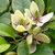 Egrow 30 Pcs/Pack Orchid Seeds Michelia Figo Tree Plant Michelia Figo Folwer Seeds