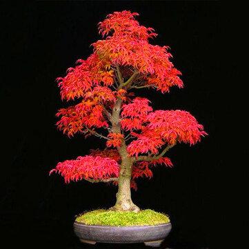 Egrow 50PCS/Pack Maple Seeds Canada Mini Red Maple Bonsai Garden DIY Bonsai Maple Tree Plant
