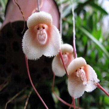 Egrow 200PCS ลิงหน้ากล้วยไม้เมล็ดพืชหลายสายพันธุ์ สวน ดอกไม้บอนไซ