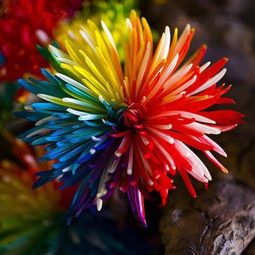 Egrow 20Pcs Rainbow Chrysanthemum Flower Seeds Rare Color Home Garden Bonsai Dyeing Plant
