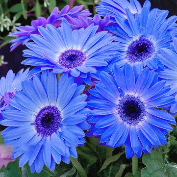 Egrow 100 Adet / paket Gerbera Papatya Tohumlar Majorette Mavi Halo Kokulu Bellis Çiçek Tohumlar