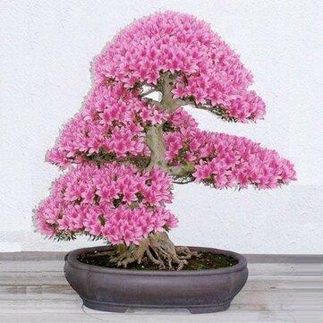 10Pcs RARE Cherry Blossom Bonsai Japanese Sakura Tree Seeds Home Garden Flowers