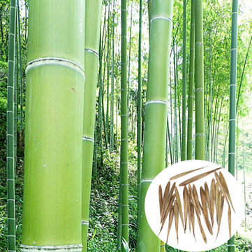 Egrow 100pcs Garden Evergreen Arbor Moso Bamboo Seeds Courtyard Phyllostachys Pubescens Plants