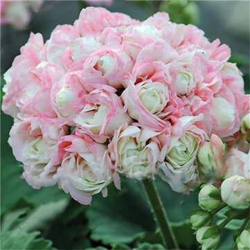 Egrow 100 PCS Garden Geranium Seed Rare Potted Flower Seeds Perennial Outdoor Decoration Plant